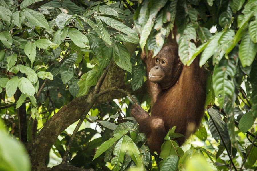 Orangutà