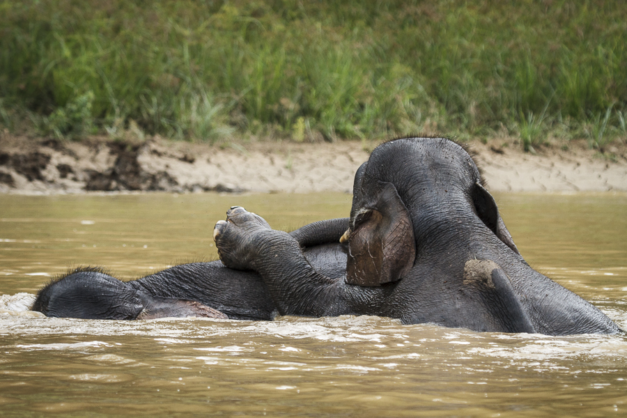 Pigmy elephant