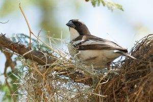 Brown-rumped Seedeater (Serinus tristriatus)