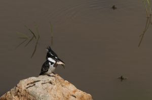 Pied Kingfisher (Cerycle rudis)