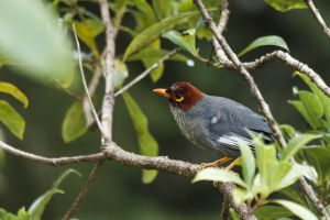 Chestnut-hooded Laughing-trush (Rhinocichla treacheri)
