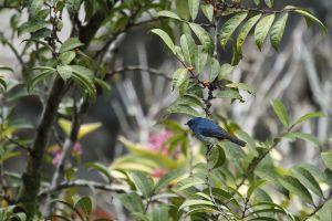 Bornean Whistling Thrush (Myophonus borneensis)