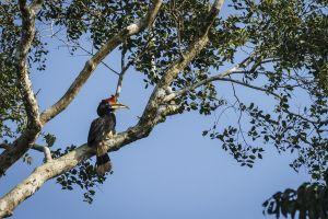 Rhinoceros Hornbill (Buceros rhinoceros)