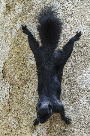 Prevost's Squirrel (Callosciurus prevostii (pluto))