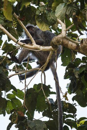 Silvered Langur, Silver Leaf Monkey (Presbytis cristata)