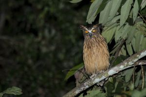 Buffy Fish Owl (Ketupa ketupu)