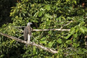 Grey-headed Fish Eagle (Ichthyophaga ichthyaetus)