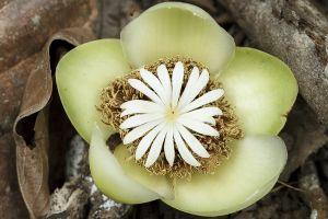 Flor d'arbre / Flor de árbol / Tree flower