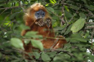 Red Leaf Monkey / Maroon Langur (Presbytis rubicunda)