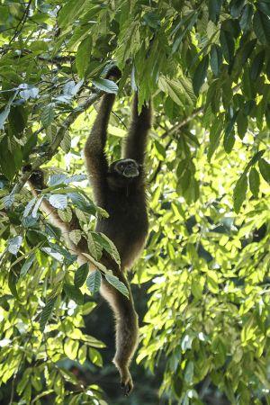 Bornean Gibbon (Hylobates muelleri)