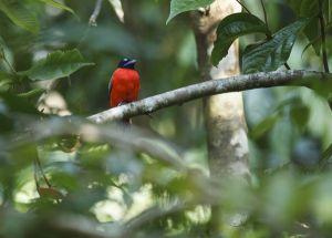 Scarlet-rumped Trogon (Harpactes duvaucelii)