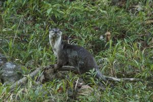 Smooth Otter (Lutra perspicillata)