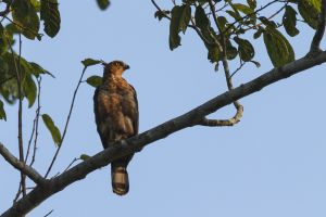 Wallace's Hawk-Eagle (Spizaetus nanus)