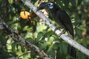 Bushy-crested Hornbill (Anorrhinus galeritus)