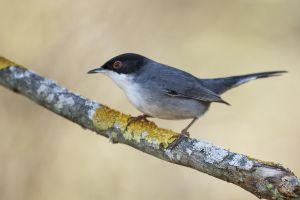 Tallarol Capnegre /Curruca cabecinegra / Sardinian warbler (Sylvia melanocephala)