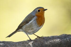 Pit-Roig / Petirrojo europeo / European robin (Erithacus rubecula)