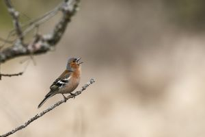 Pinsà comú / Pinzón vulgar / Common chaffinch (Fringilla coelebs)