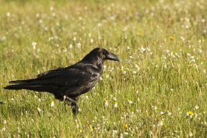 Corb / Cuervo grande / Common raven (Corvus corax)