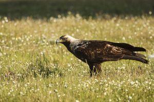 Àliga imperial ibèrica / Águila Imperial ibérica / Spanish imperial eagle (Aquila adalberti)