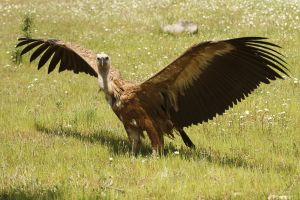 Voltor comú / Buitre Leonado / Griffon vulture (Gyps fulvus)