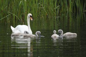 Cigne mut / Cisne vulgar / Mute swan (Cygnus olor)