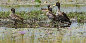 Ànec becgroc / Ánade picolimón / Yellow-billed Duck (Anas undulata)