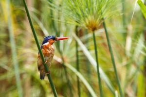 Blauet malaquita / Martín Pescador Malaquita / Malachite Kingfisher (Corythornis cristatus)