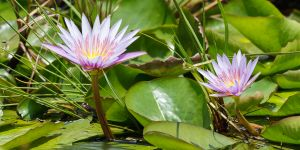 Cape Blue Water Lily (Nymphaea capensis)