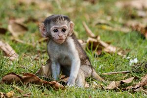 Mona verda / Cercopiteco verde / Vervet Monkey (Chlorocebus pygerythrus)