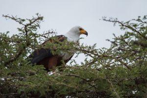 Pigarg africà / Pigargo Vocinglero / African Fish Eagle (Haliaeetus vocifer)