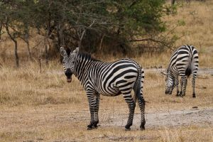 Zebra Comuna / Zebra Común / Common Zebra (Equus quagga)