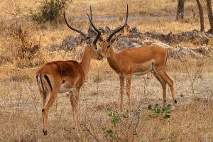 Impala / Impala / Impala (Aepyceros melampus)