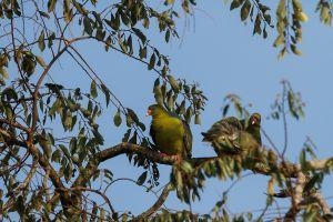 Colom verdós africà / Vinago africano común / African Green Pigeon (Treron calvus)