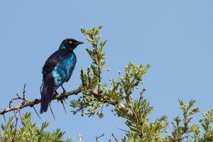 Estornell de Rüppell / Estornino de Rüppell / Rüppell's Long-tailed Starling (Lamprotornis purpuroptera Rüppell)