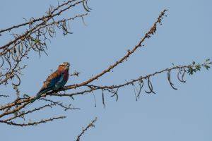 Gaig blau de clatell verd / Carraca Lila / Lilac-breasted Roller (Coracias caudatus)