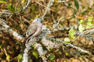 Tortoreta d'ales maragda / Palomita Aliverde / Emerald-spotted Wood-Dove (Turtur chalcospilos)