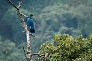 Turac Gegant / Turaco Gigante / Great Blue Turaco (Corythaeola cristata)