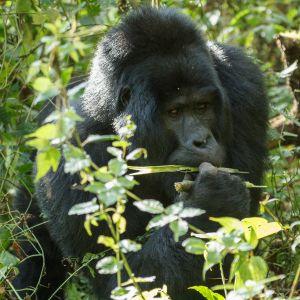 Goril·la de muntanya / Gorila de montaña / Mountain Gorilla (Gorilla beringei beringei)