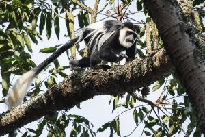 Còlob de crinera oriental / Colobo oriental negro y blanco / Black-and-white Colobus (Colobus guereza)