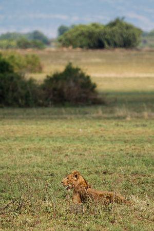 Lleó / León / Lion (Panthera leo)