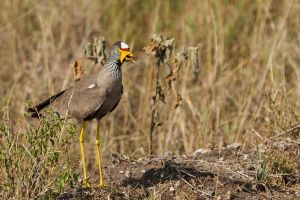 Fredeluga del Senegal / Avefría Senegalesa / African Wattled Lapwing (Vanellus senegallus)