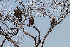 Voltor dorsiblanc africà / African White-backed Vulture (Gyps africanus) // Àguila saltimbanqui / Águila Volatinera / Bateleur (Terathopius ecaudatus) // Voltor de palmerar / Buitre Palmero / Palm-nut Vulture (Gypohierax angolensis)