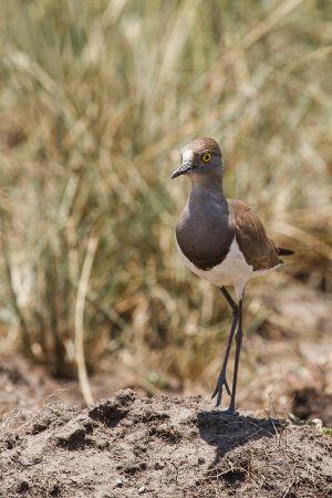 Fredeluga lúgubre / Avefría Lúgubre / Senegal Lapwing (Vanellus lugubris)
