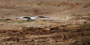 Gavina capgrisa / Gaviota Cabecigrís / Grey-headed Gull (Chroicocephalus cirrocephalus)
