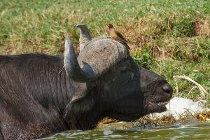 Búfal africà / Búfalo Cafre / African Buffalo (Syncerus caffer) // Búfag de bec groc / Yellow billed Oxpecker (Buphagus africanus)