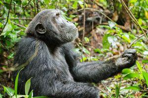 Ximpanzé / Chimpancé común) Chimpanzee (Pan troglodytes)