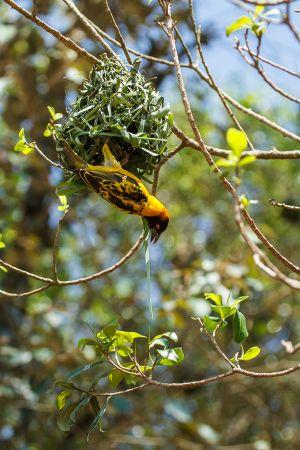 Teixidor capnegre / Tejedor Cabecinegro / Black-headed Weaver (Ploceus melanocephalus)