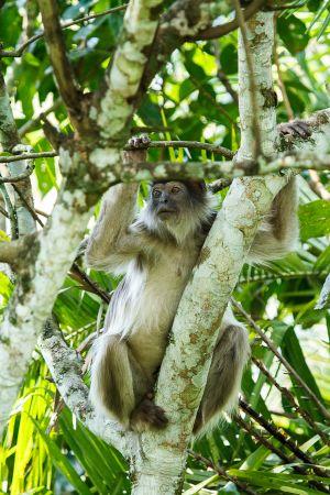 Còlob vermell / Colobo Rojo / Red Colobos Monkey (Piliocolobus)