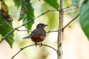 Cossifa de coroneta nevada / Cosifa Coroninívea / Snowny-crowned Robin-Chat (Cossypha niveicapilla)