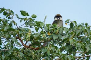 Cercopitec de cua vermella / Cercopiteco de cola roja / Red-tailed Monkey (Cercopithecus ascanius)